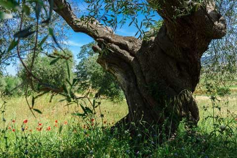 Agriturismo Buratta - gli ulivi